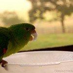 Video: Brazil's daring parrots