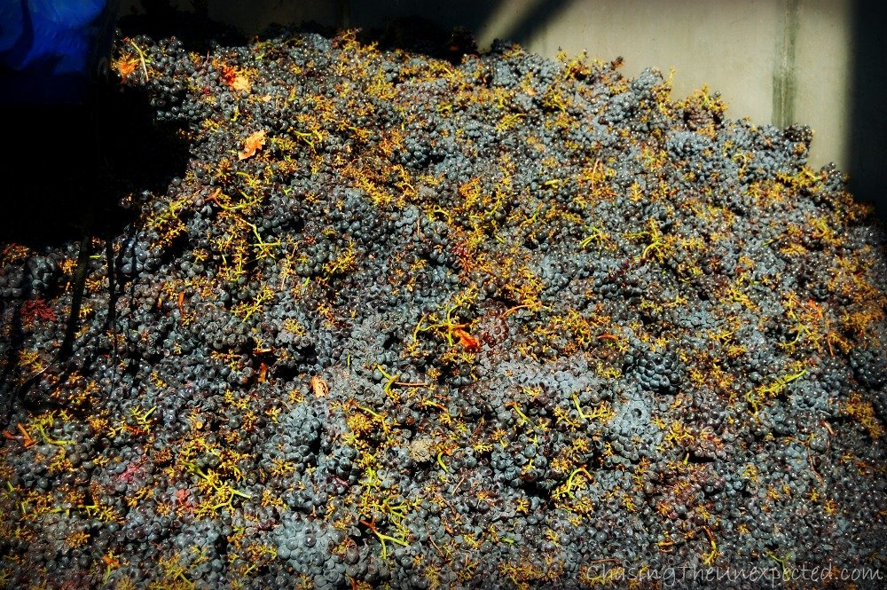 Harvesting in Sardinia, time to produce the new wine