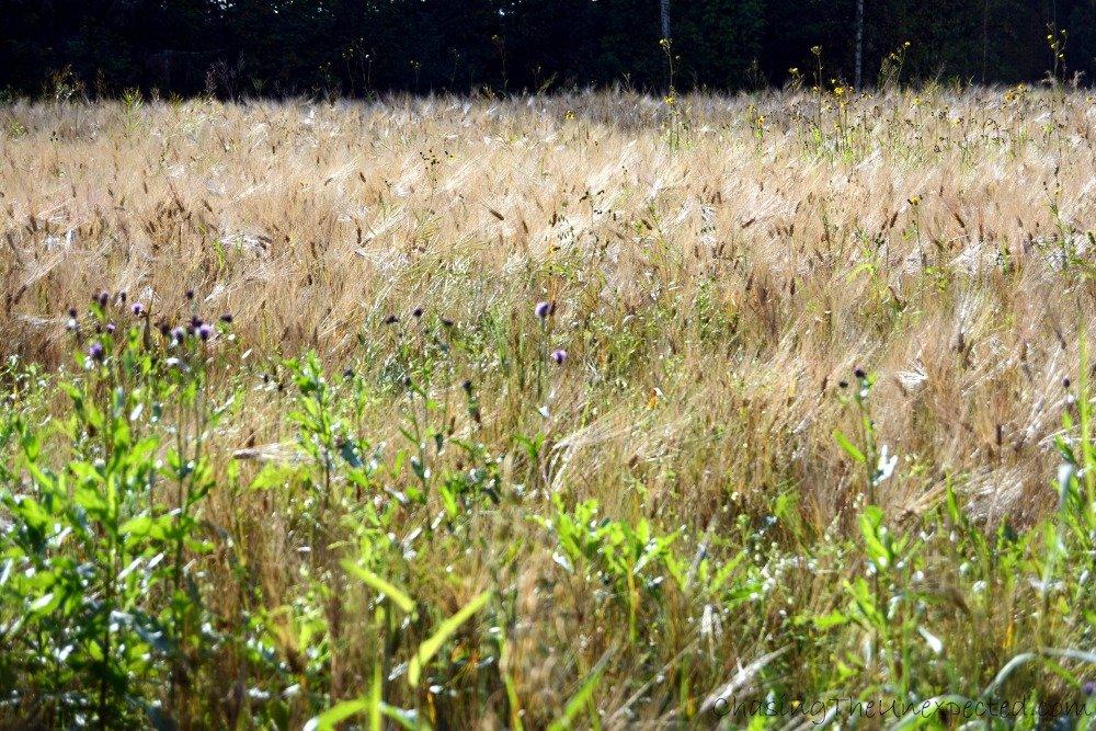 Seemingly fluffy barley fields