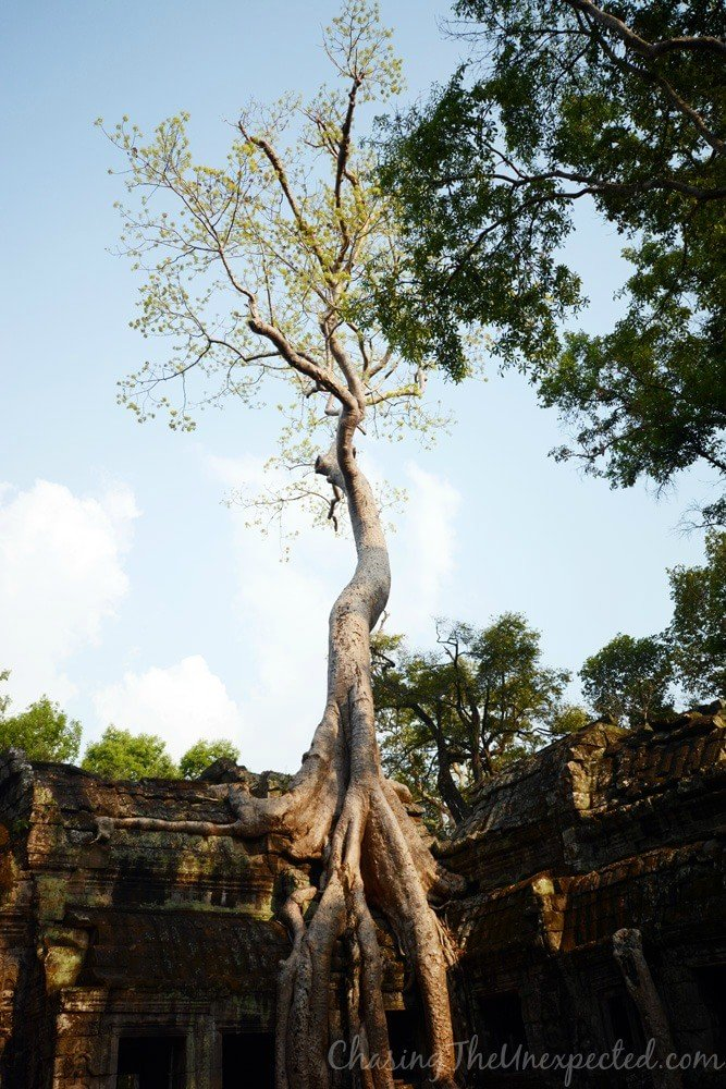 More majesty from the trees of Ta Prohm temple