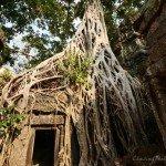 "Nature takes over at Ta Prohm ""Jungle Temple"""