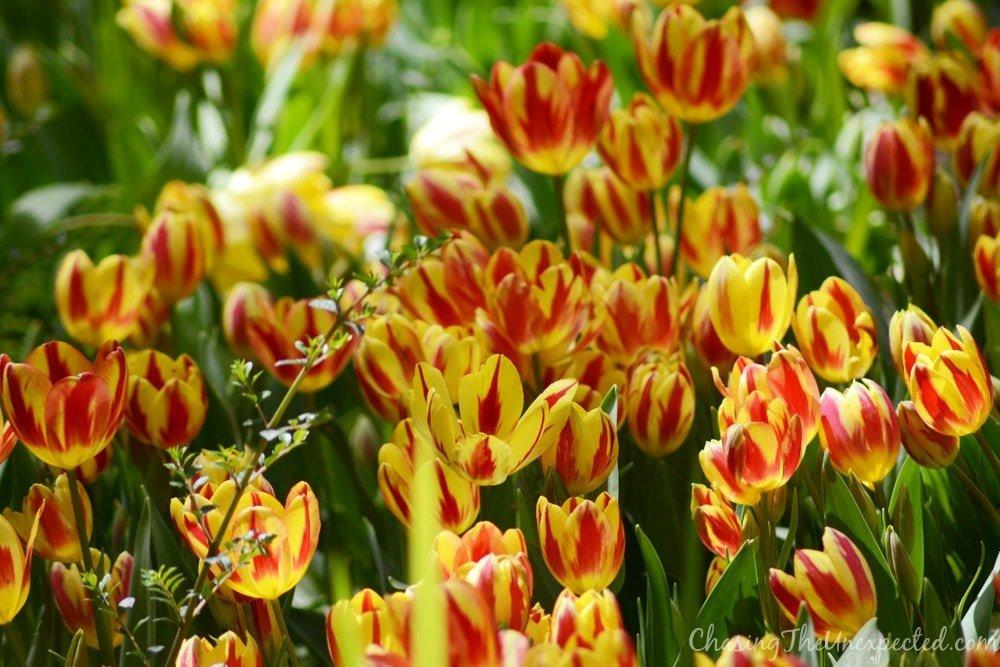 iranian tulip garden tehran