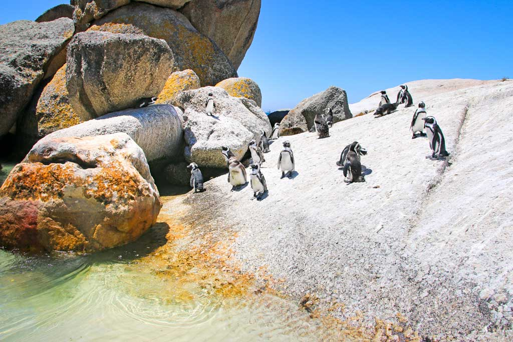 Image: Penguins in Boulders Beach in Cape Town